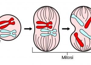 mitosi e meiosi